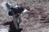 Bonnie. Fetch at Dodgeton Trail Meadow. 31 Mar 07.