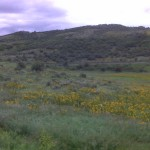 Sunflowers near Yampa