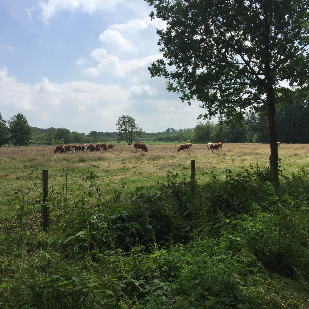 bruine en witte koeien in veld