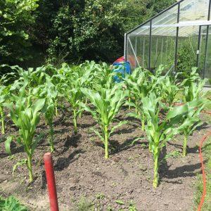 koren in groeten tuin
